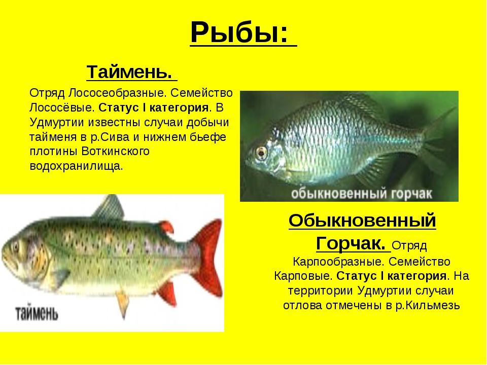 Она считается наиболее ценной рыбой семейства лососевых