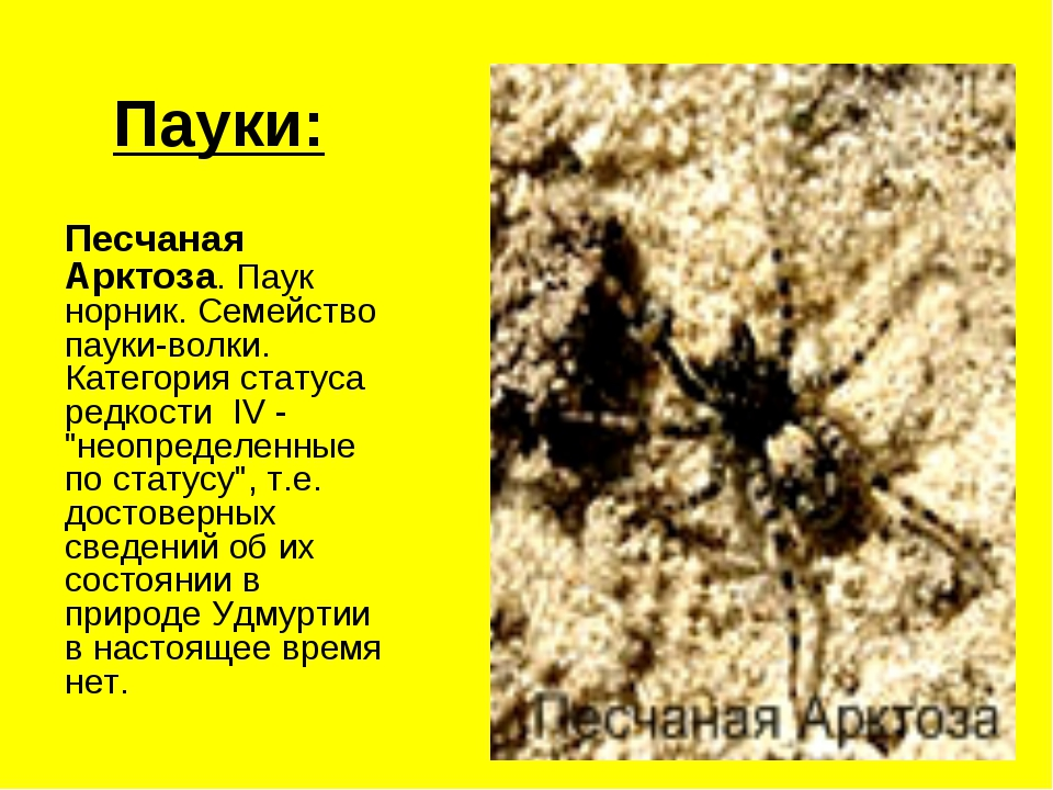Пауки: Песчаная Арктоза. Паук норник. Семейство пауки-волки. Категория статус...