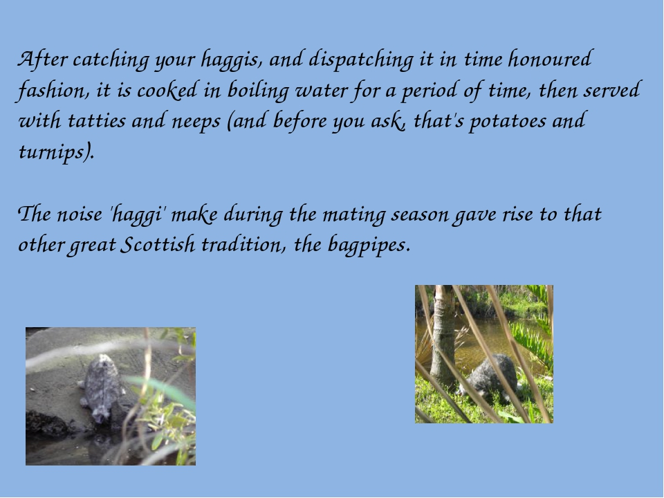 After catching your haggis, and dispatching it in time honoured fashion, it i...