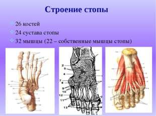 26 костей 24 сустава стопы 32 мышцы (22 – собственные мышцы стопы) Строение с