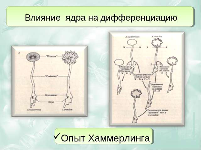 Влияние ядра на дифференциацию Опыт Хаммерлинга