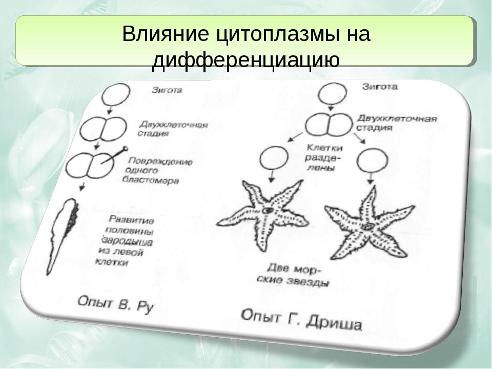 Влияние цитоплазмы на дифференциацию
