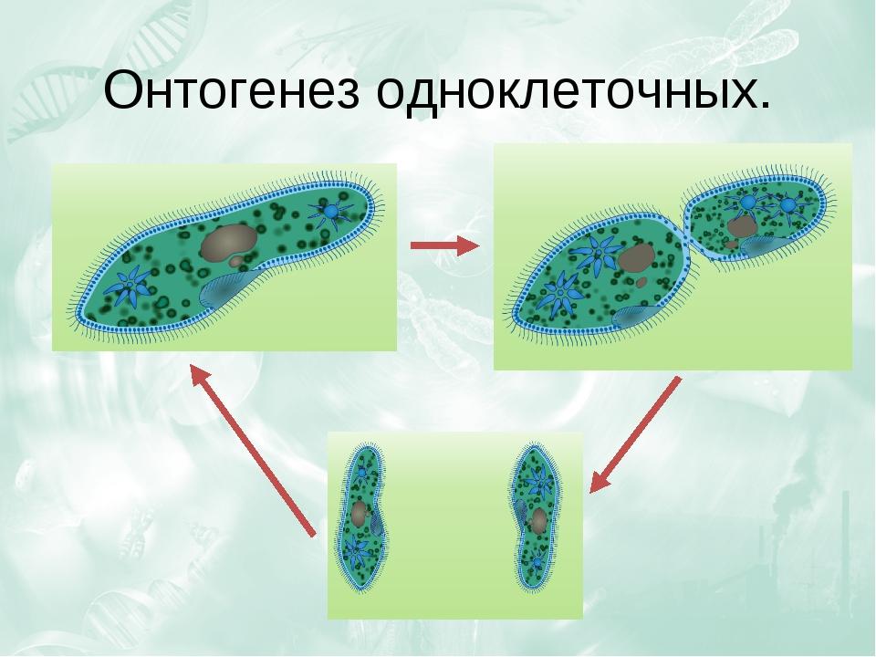 Онтогенез одноклеточных.
