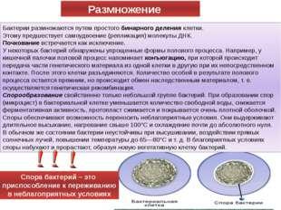 Бактерии размножаются путем простого бинарного деления клетки. Этому предшест