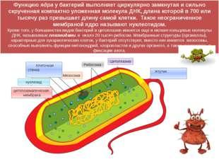 цитоплазматическая мембрана нуклеоид капсула Мезосома Рибосома Цитоплазма Жгу