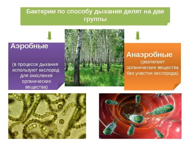 Бактерии по способу дыхания делят на две группы Аэробные (в процессе дыхания...