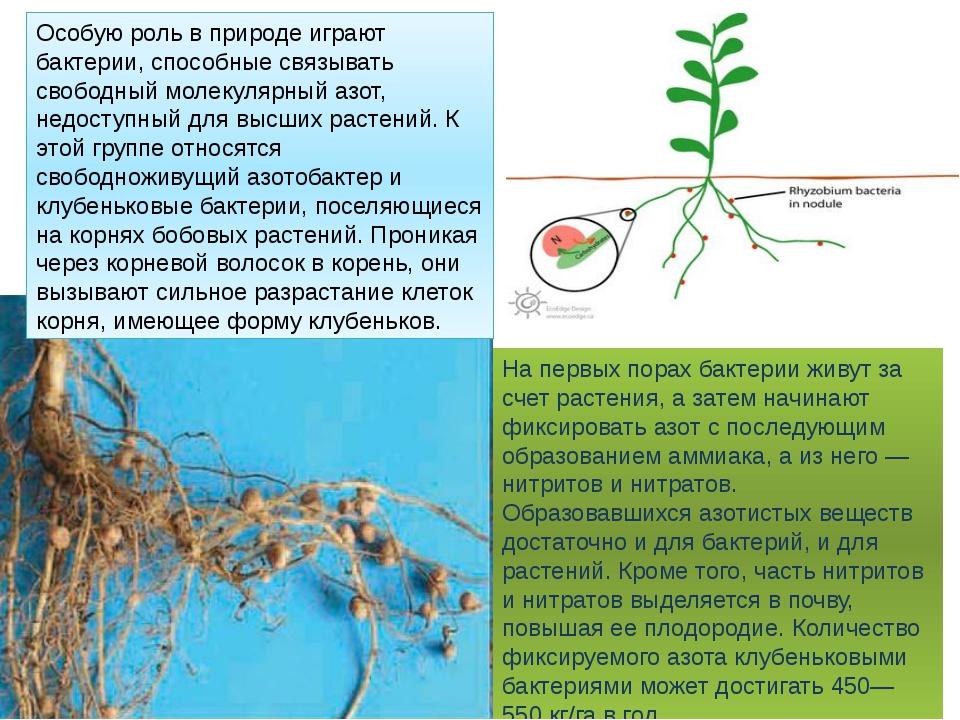На первых порах бактерии живут за счет растения, а затем начинают фиксировать...