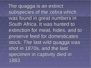 The quagga is an extinct subspecies of the zebra which was found in great nu