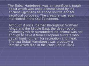 The Bubal Hartebeest was a magnificent, tough beast which was once domestica