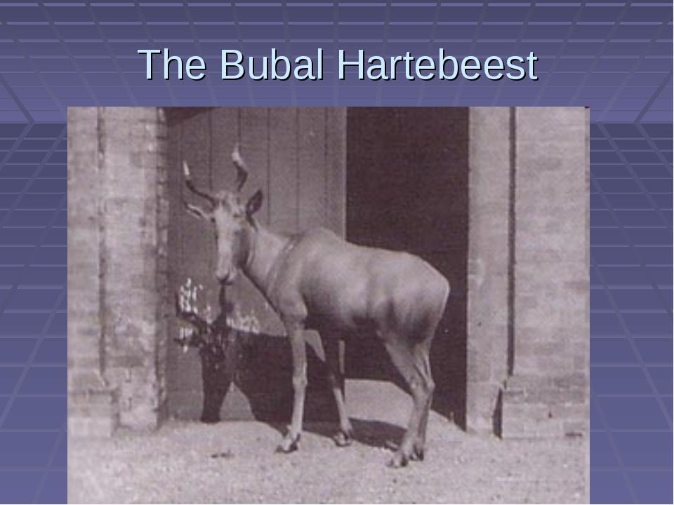 The Bubal Hartebeest