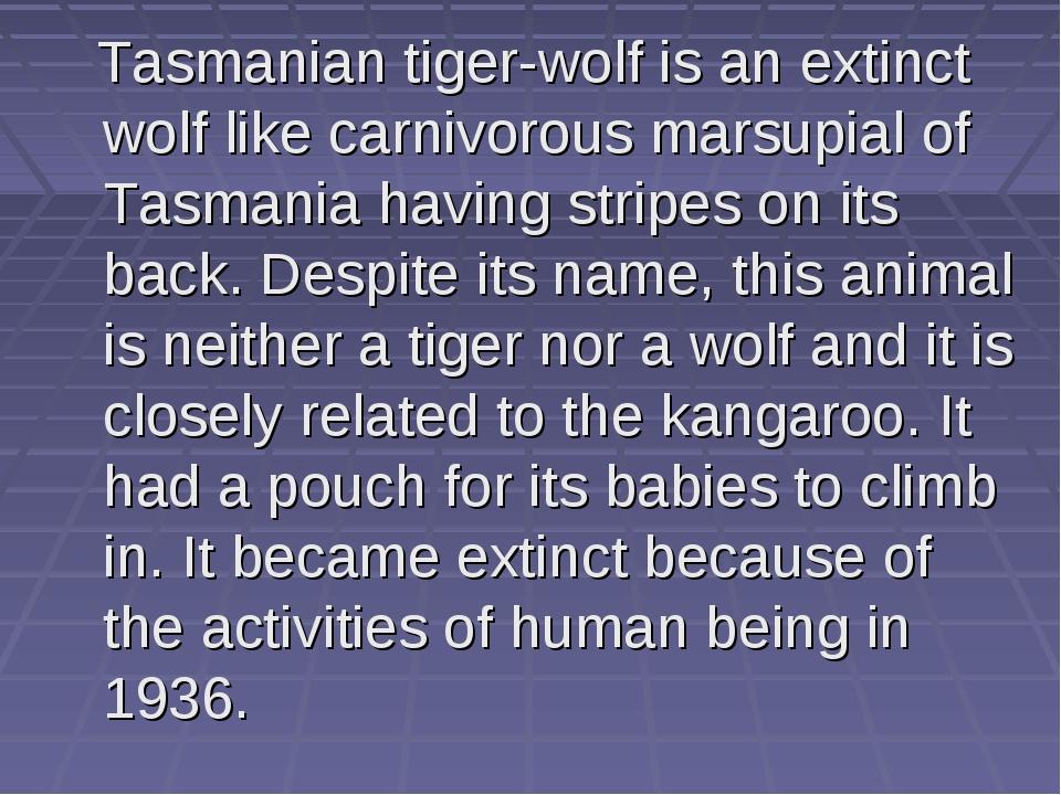 Tasmanian tiger-wolf is an extinct wolf like carnivorous marsupial of Tasman...