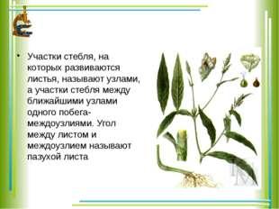 Участки стебля, на которых развиваются листья, называют узлами, а участки ст