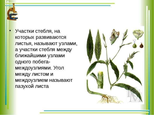 Участки стебля, на которых развиваются листья, называют узлами, а участки ст...