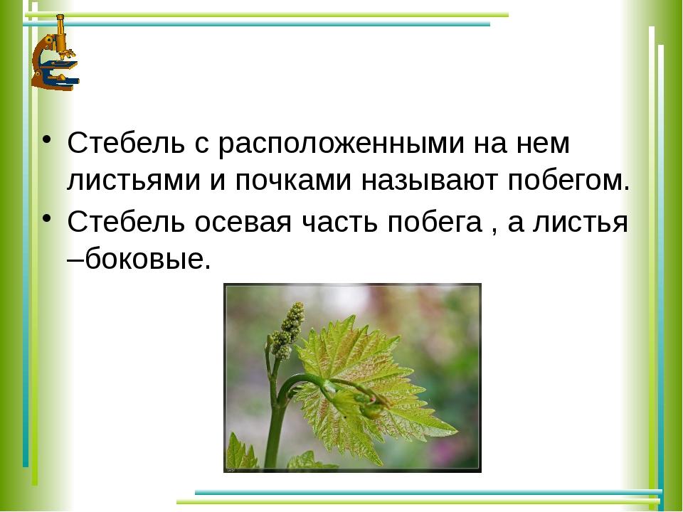 Стебель с расположенными на нем листьями и почками называют побегом. Стебель...