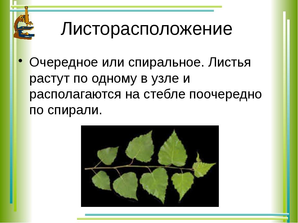 Листорасположение Очередное или спиральное. Листья растут по одному в узле и...