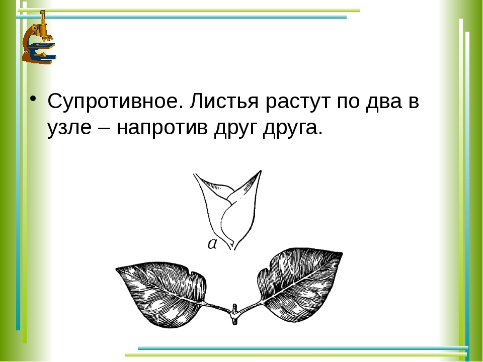 Супротивное. Листья растут по два в узле – напротив друг друга.
