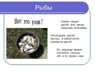 Рыбы Рыбья чешуя растёт всю жизнь, нарастая колечками. По широким можно сосчи