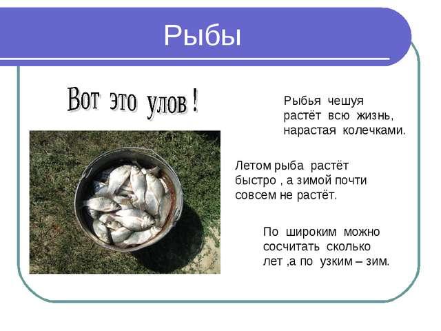 Рыбы Рыбья чешуя растёт всю жизнь, нарастая колечками. По широким можно сосчи...