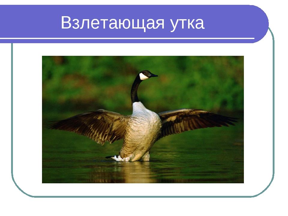 Взлетающая утка