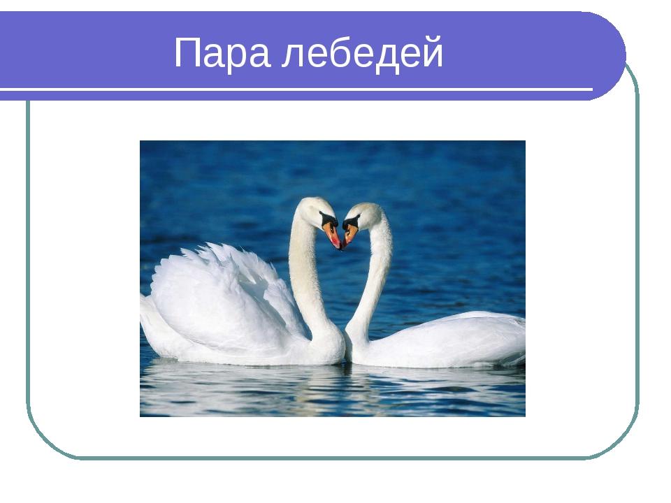 Пара лебедей