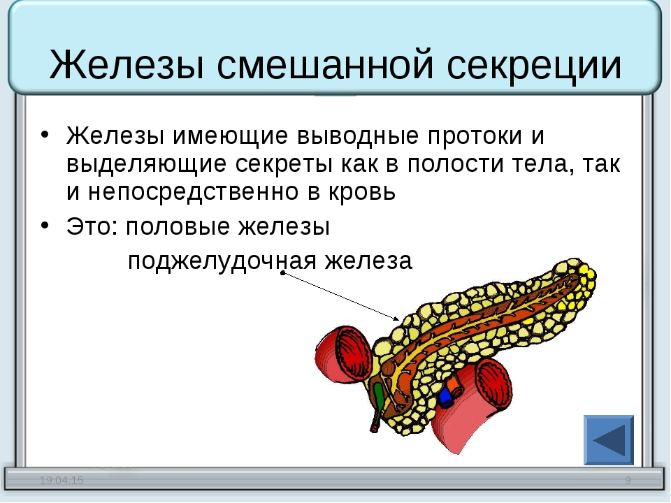 Железы смешанной секреции Железы имеющие выводные протоки и выделяющие секрет...