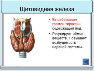 Щитовидная железа Вырабатывает гормон тироксин, содержащий йод. Регулирует об