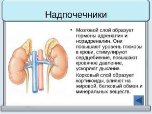 Надпочечники Мозговой слой образует гормоны адреналин и норадреналин. Они пов