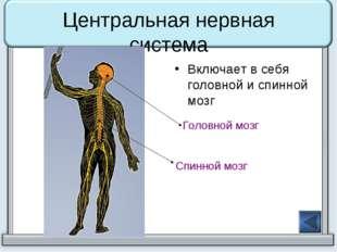 Центральная нервная система Включает в себя головной и спинной мозг Головной