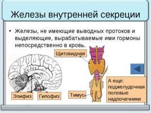 Железы внутренней секреции Железы, не имеющие выводных протоков и выделяющие,