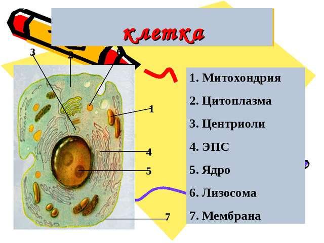 клетка 1 2 3 4 5 6 7 1. Митохондрия 2. Цитоплазма 3. Центриоли 4. ЭПС 5. Ядро...