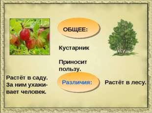 ОБЩЕЕ: Кустарник Приносит пользу. Растёт в саду. За ним ухажи-вает человек. Р