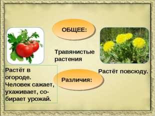 ОБЩЕЕ: Травянистые растения Различия: Растёт в огороде. Человек сажает, ухажи