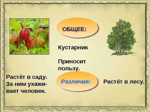 ОБЩЕЕ: Кустарник Приносит пользу. Растёт в саду. За ним ухажи-вает человек. Р...