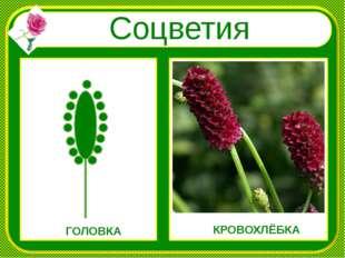 Соцветия ГОЛОВКА КРОВОХЛЁБКА
