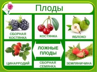 Плоды СБОРНАЯ КОСТЯНКА ЯБЛОКО КОСТЯНКА ЗЕМЛЯНИЧИНА ЦИНАРРОДИЙ ЛОЖНЫЕ ПЛОДЫ С
