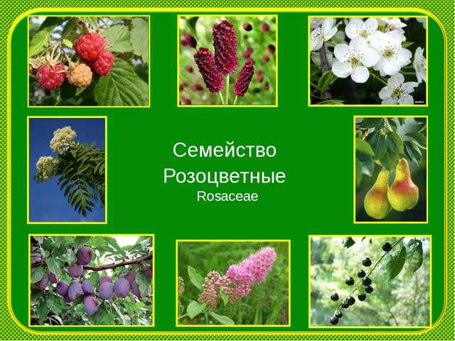 Семейство Розоцветные Rosaceae