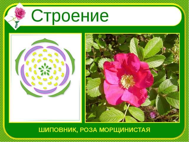 Строение цветка ШИПОВНИК, РОЗА МОРЩИНИСТАЯ