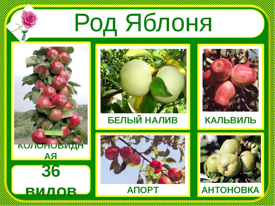 АПОРТ АНТОНОВКА БЕЛЫЙ НАЛИВ КОЛОНОВИДНАЯ КАЛЬВИЛЬ Род Яблоня 36 видов