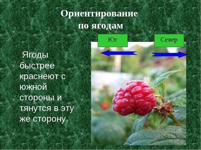 Ориентирование по ягодам Ягоды быстрее краснеют с южной стороны и тянутся в э...