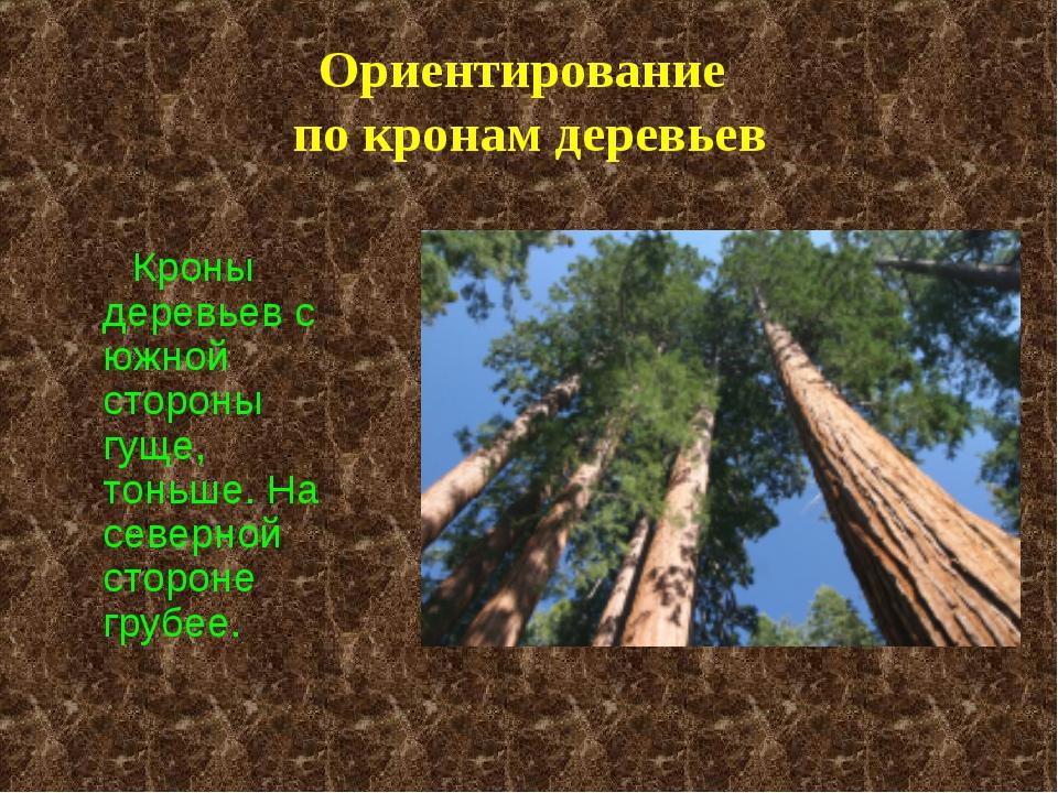 Ориентирование по кронам деревьев Кроны деревьев с южной стороны гуще, тоньше...