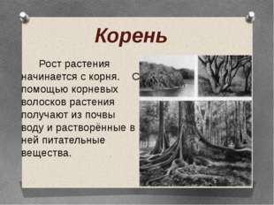 Корень Рост растения начинается с корня. С помощью корневых волосков растения