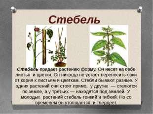Стебель Стебель придает растению форму. Он несет на себе листья и цветки. Он