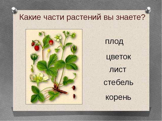 Какие части растений вы знаете? корень стебель лист цветок плод