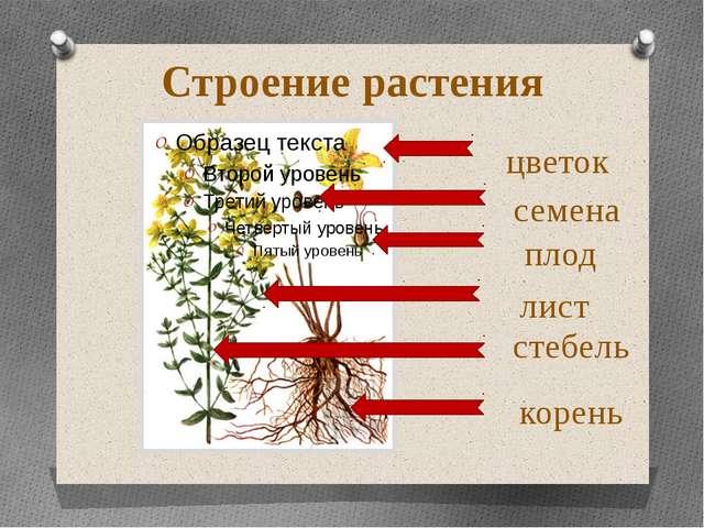 стебель корень лист цветок плод Строение растения семена