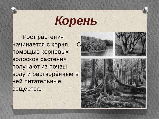 Корень Рост растения начинается с корня. С помощью корневых волосков растения...