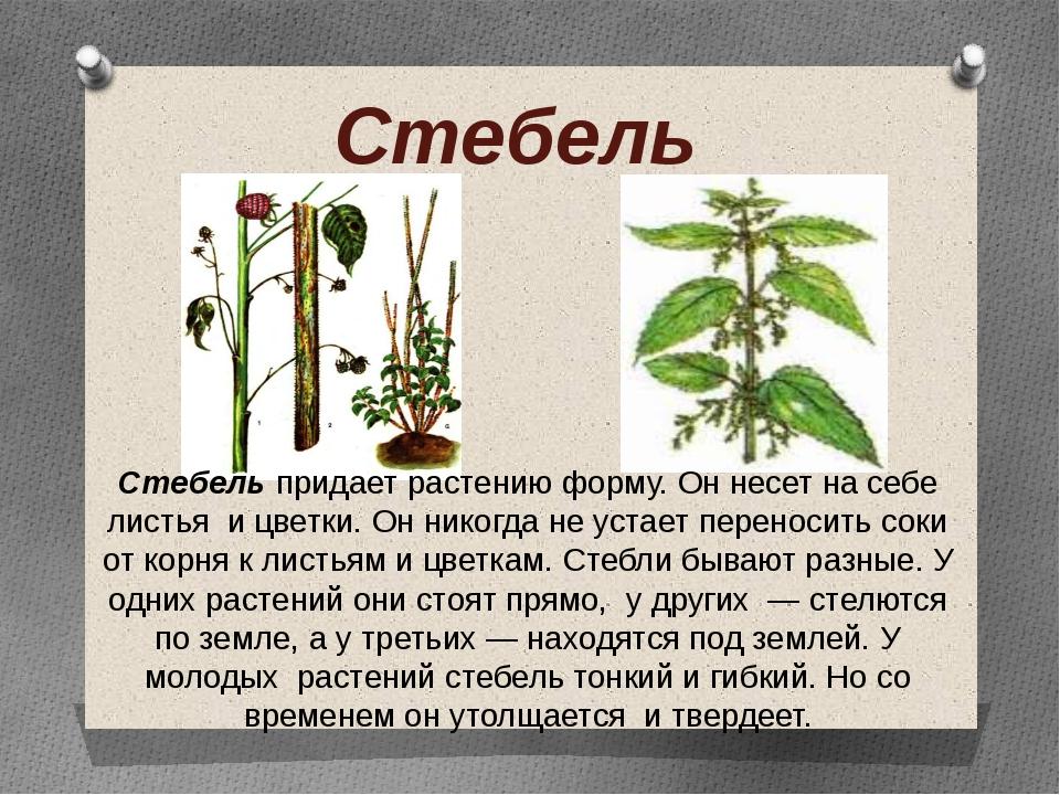 Стебель Стебель придает растению форму. Он несет на себе листья и цветки. Он...