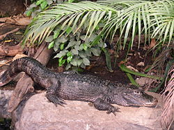http://upload.wikimedia.org/wikipedia/commons/thumb/c/ce/Alligator_sinensis.jpg/250px-Alligator_sinensis.jpg