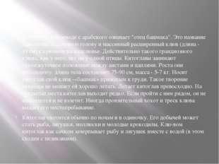 """Китоглав - в переводе с арабского означает """"отец башмака"""". Это название дано"""