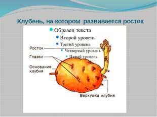 Клубень, на котором развивается росток
