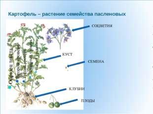 СОЦВЕТИЯ СЕМЕНА ПЛОДЫ КУСТ КЛУБНИ Картофель – растение семейства пасленовых